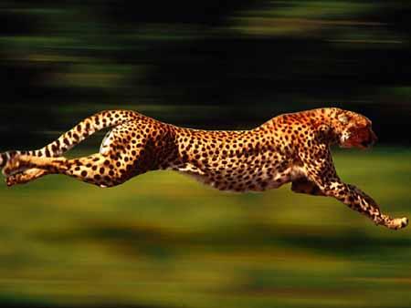 Fastest  Animal - Cheetah