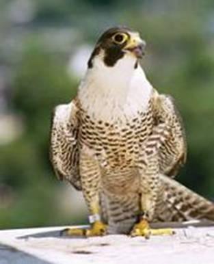 Fastest  Bird - The Peregrine Falcon