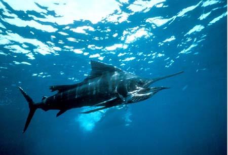 Fastest  Fish - SailFish