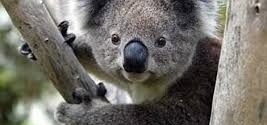 Koala fingerprints are similar to human fingerprints