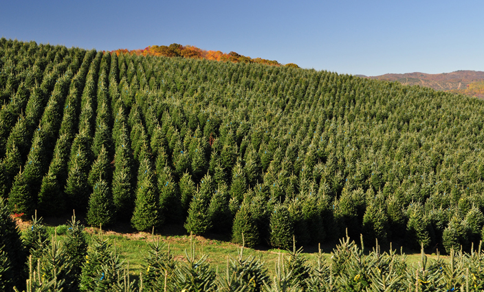 christmas tree production