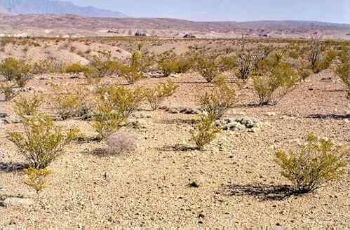 Creosote bush in the Chihuahuan Desert, Texas